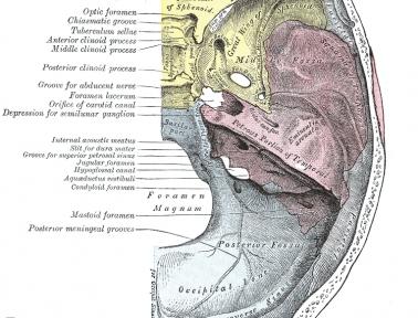 Optic canal anatomy