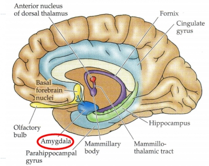 limbic system facts