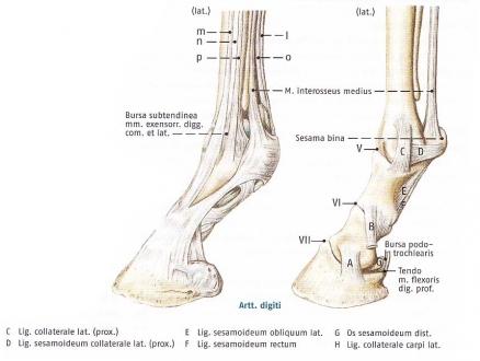 AnatomiePhysiologie - Bewegungsapparat der Haussäugetieren ...