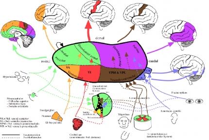 Lipp und das Gehirn in Kürze   Karteikarten online lernen   CoboCards