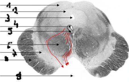 Red nucleus anatomy