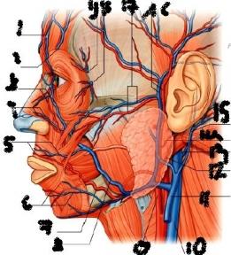 zygomatical facial